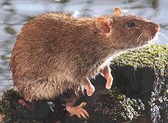 waar houden ratten niet van