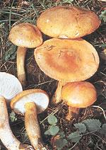grote oranje paddenstoel