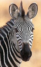 http://worldexplorer.be/zebra.jpg
